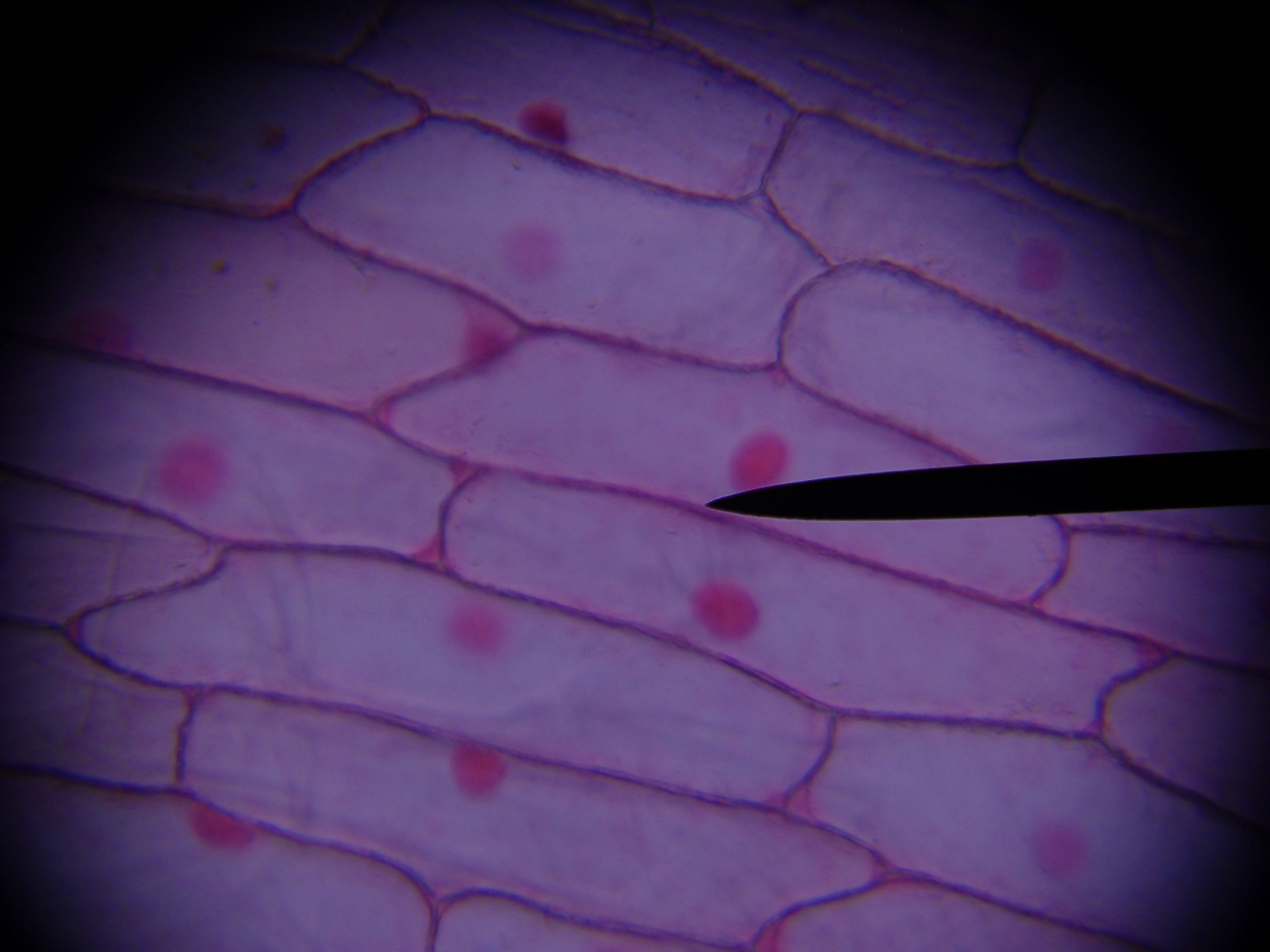 Nuclei Of Onion Cells