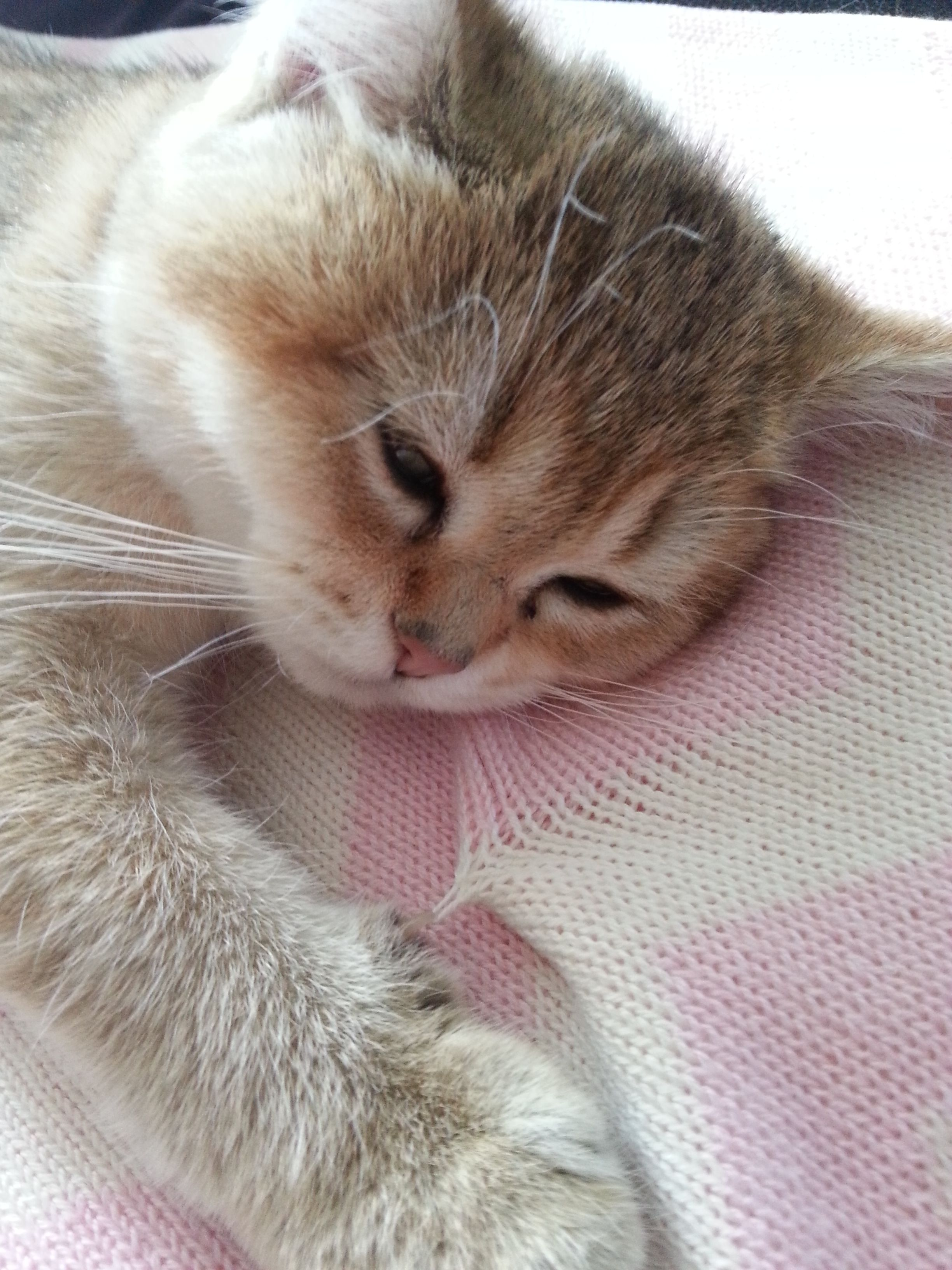 14 weeks old, british shorthair black golden shaded sleepy
