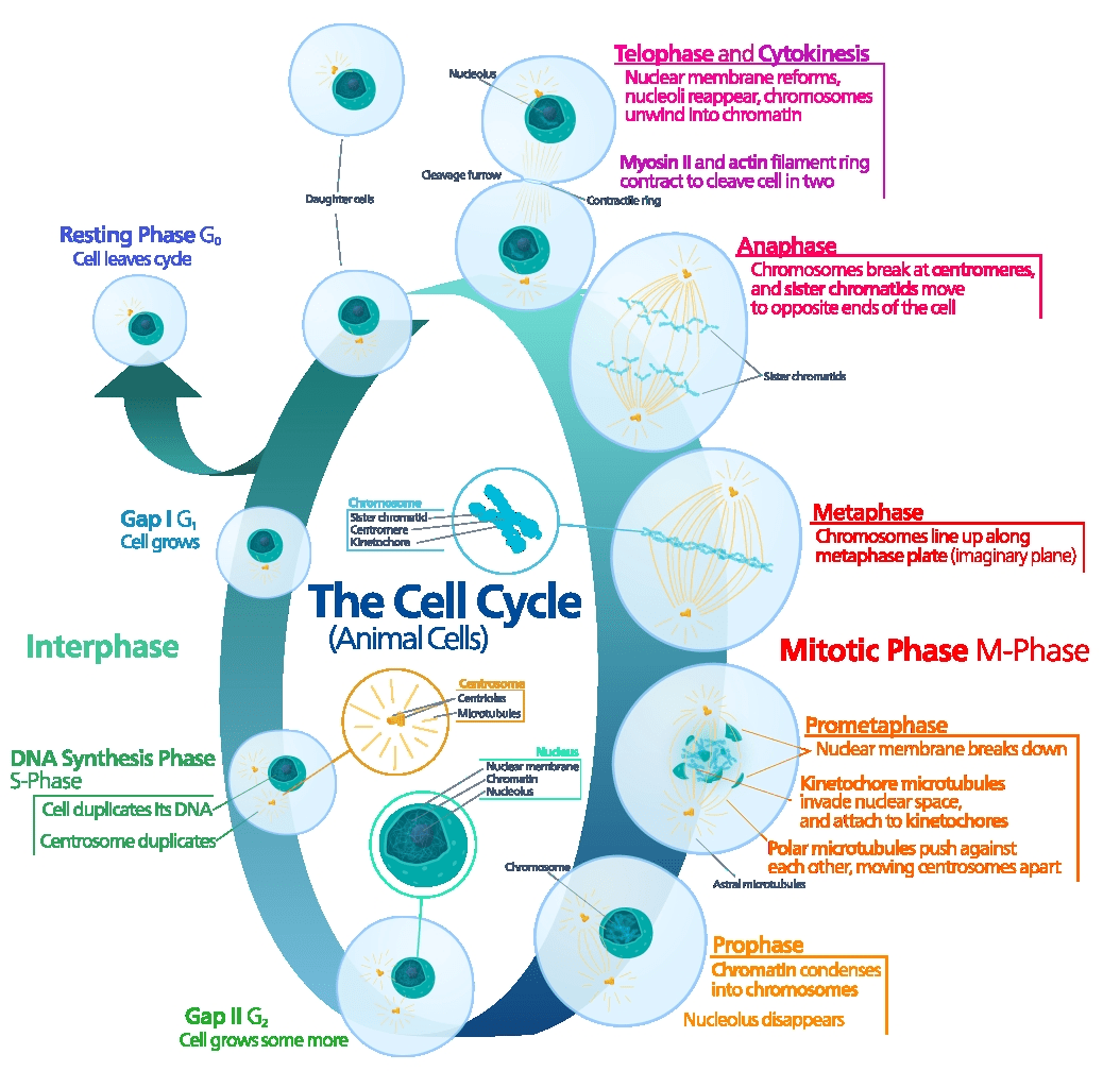 The Cell Cycle High School Biology Pinterest Cycling Ap