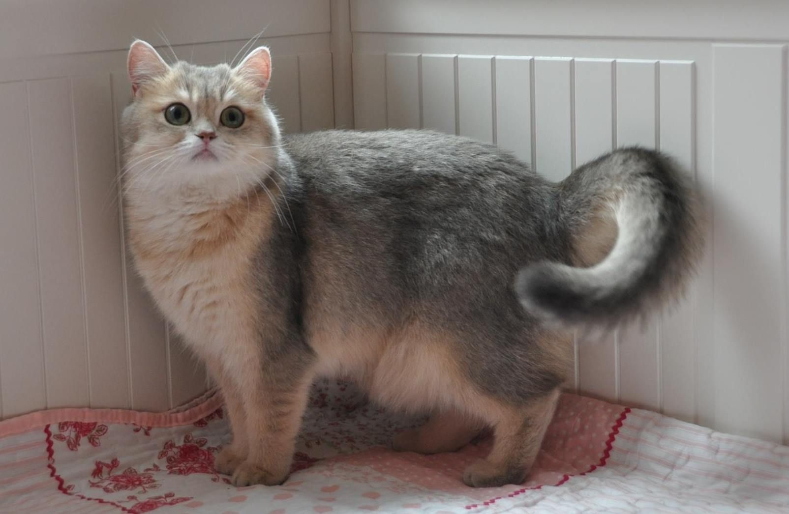 Females golden shaded and silver tabby british shorthair