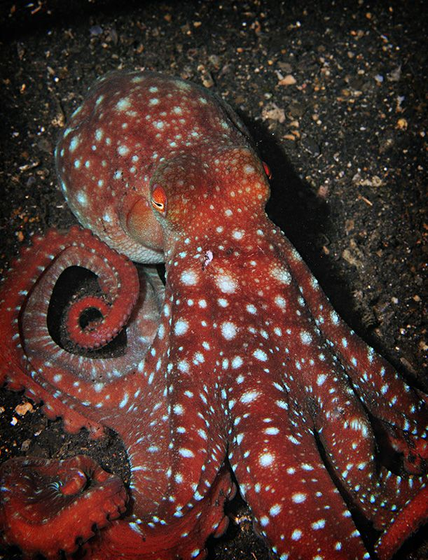 Red Octopus. Octopuses have 2 eyes and 4 pairs of arms and