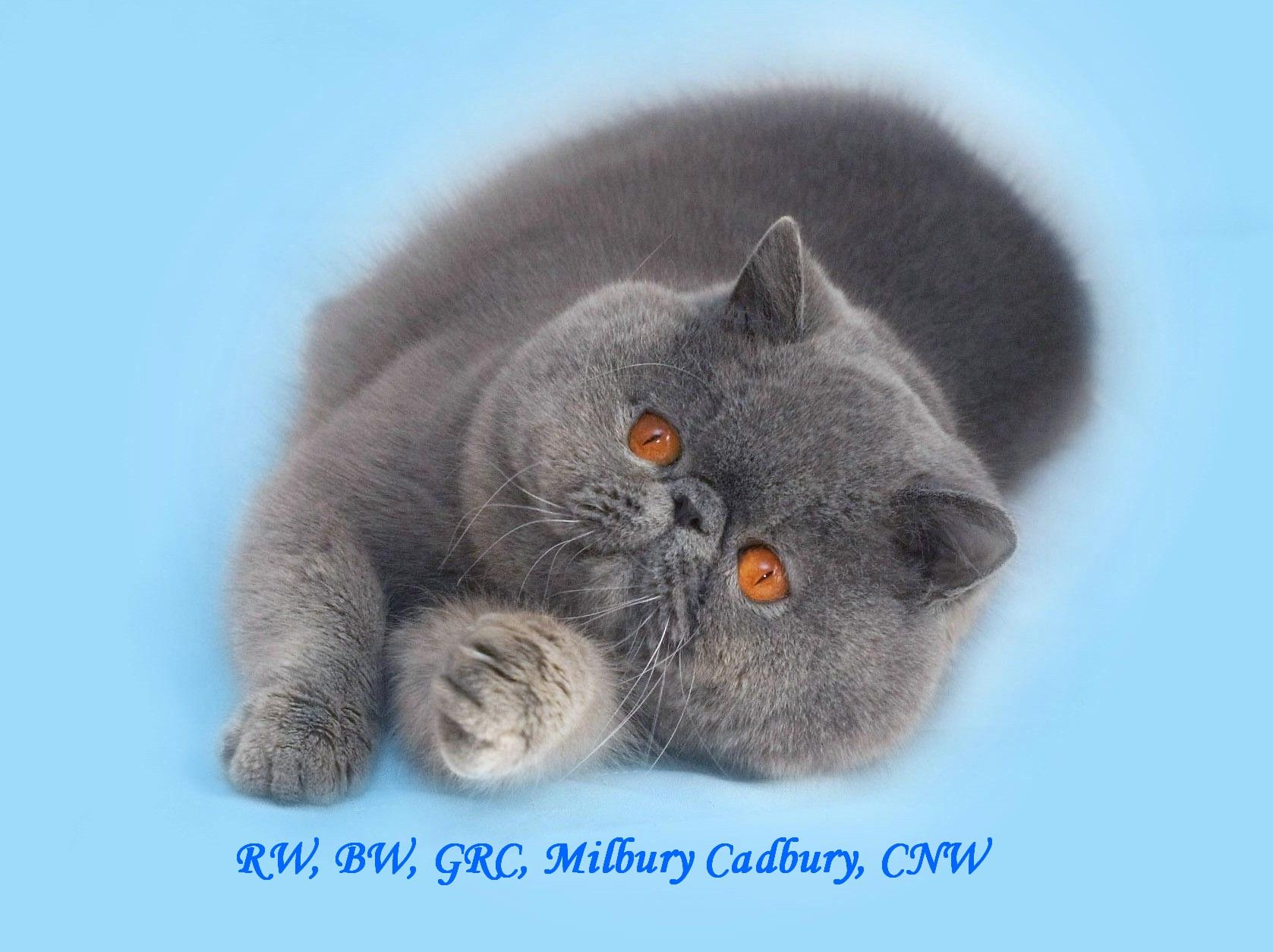 exotic shorthair kittens for sale to milbury cattery