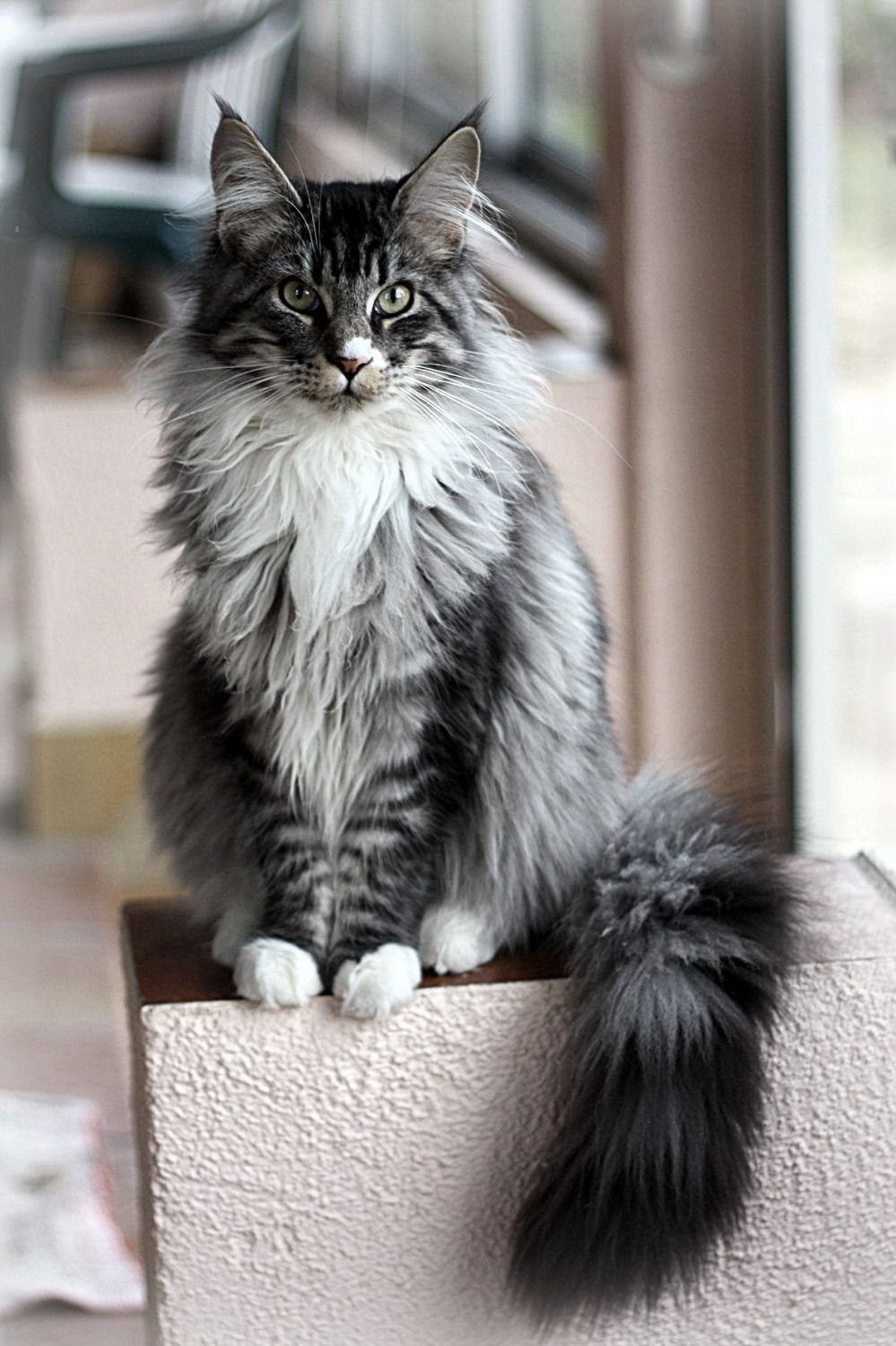 Black Silver Mackerel Tabby White Maine Coon Animals