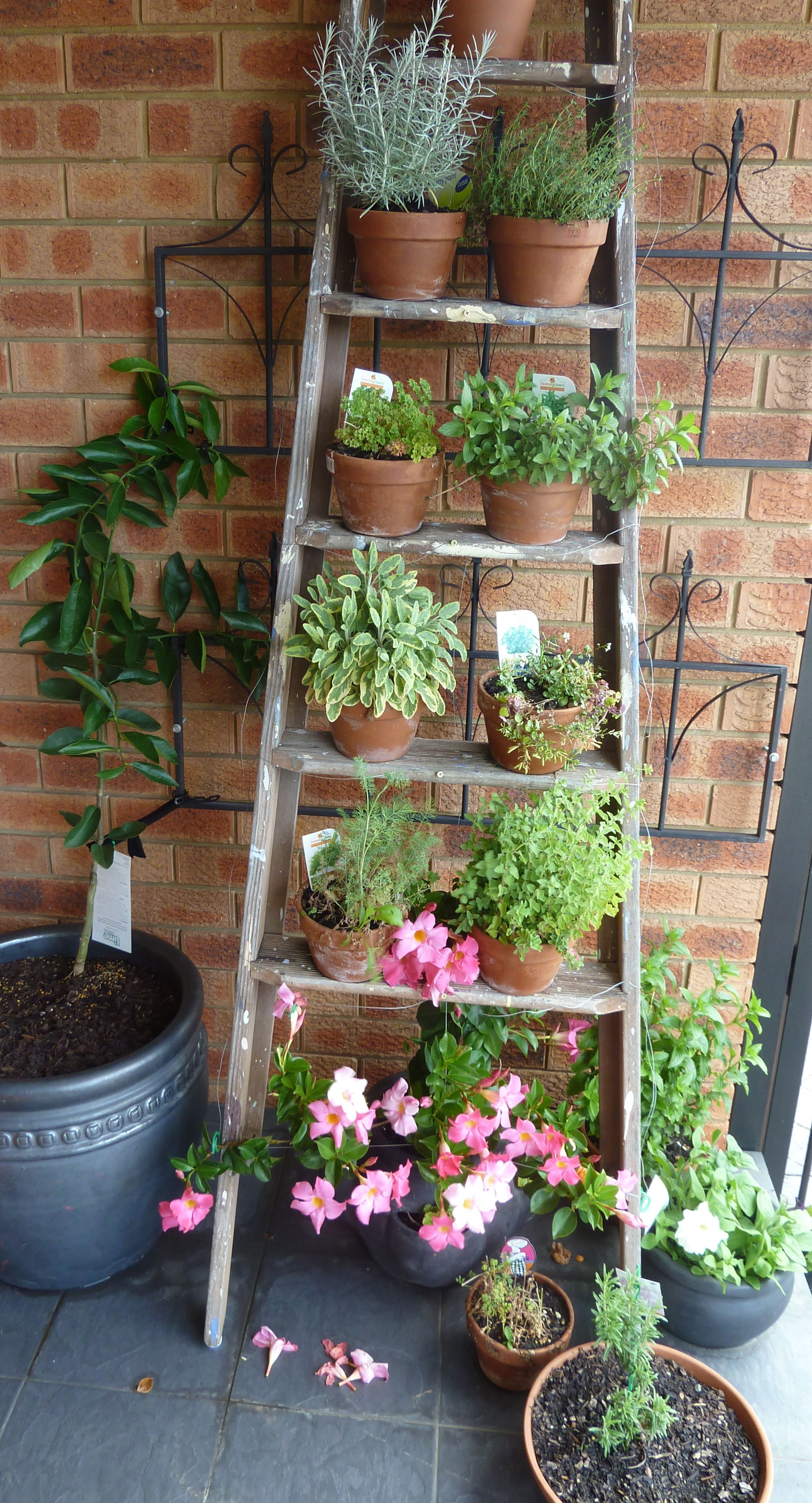 Old ladder loaded up with pots of herbs. Tahitian Lime