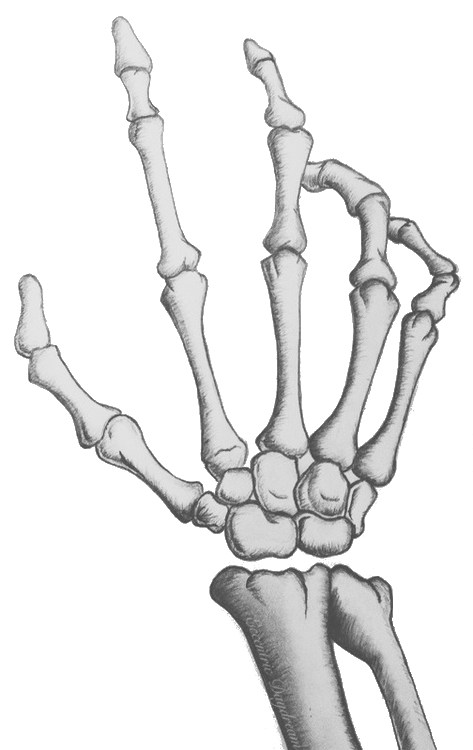 skeleton hand sculls & bones Pinterest Skeletons