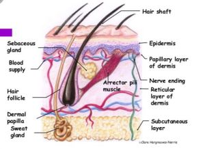 Science of the hair and scalp ; cross section diagram