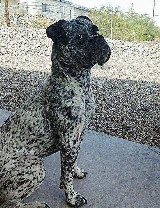 Brindle on white. I have never seen this! Dogs