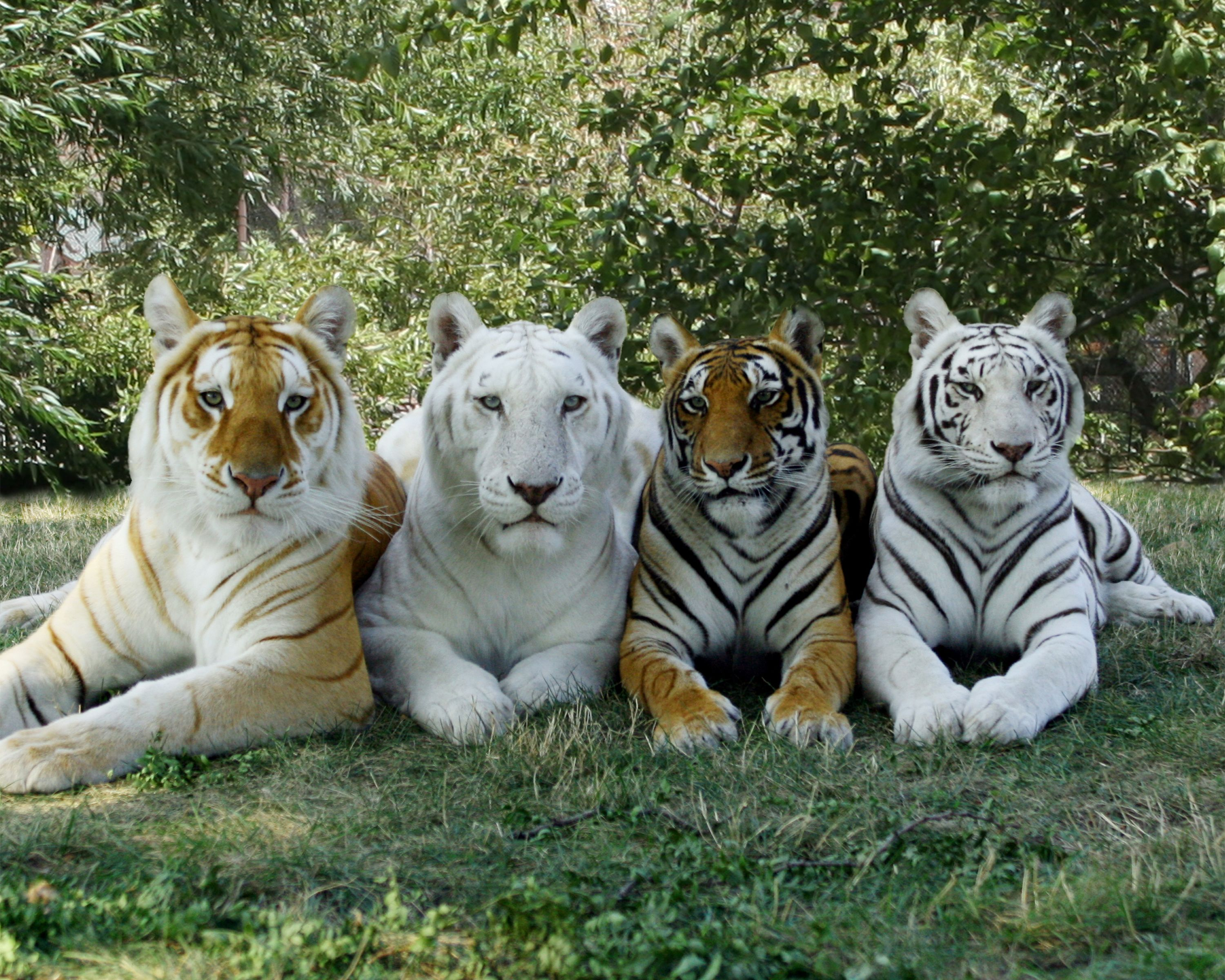 Featured here are 4 of our cherished Bengal friends, stars