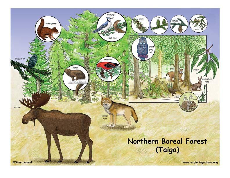 Northern Boreal Forest (Taiga) Homeschool stuff J