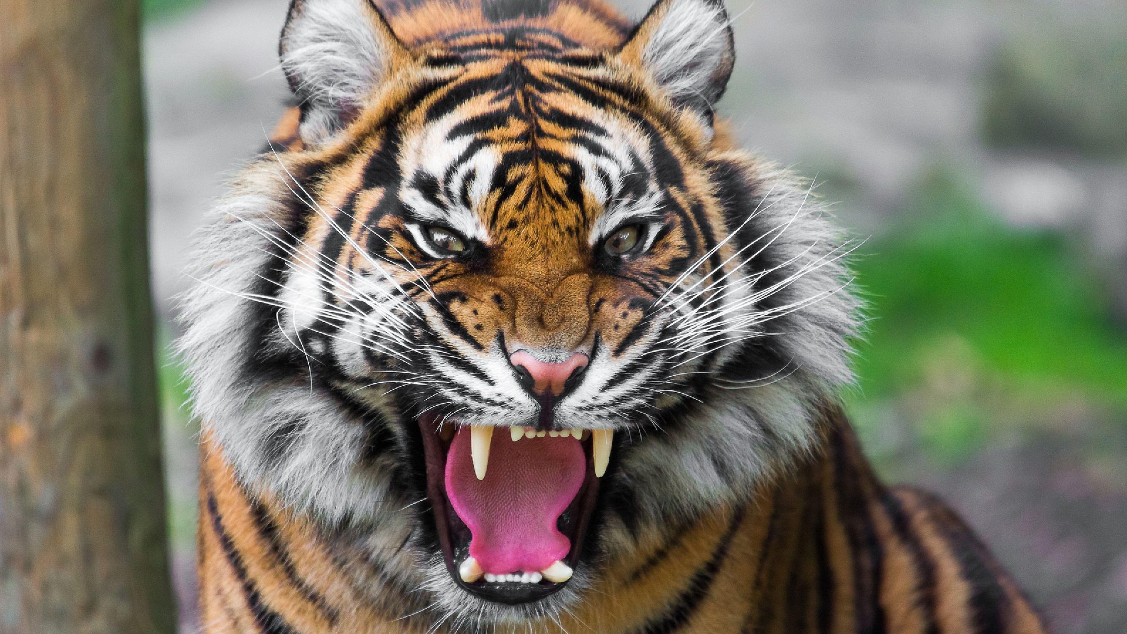 tiger Pesquisa Google tiger Pinterest Tigers, Cat