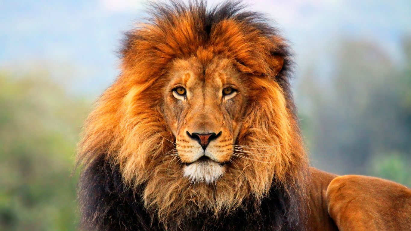 lion face happy lion african face hd wallpapers.jpg