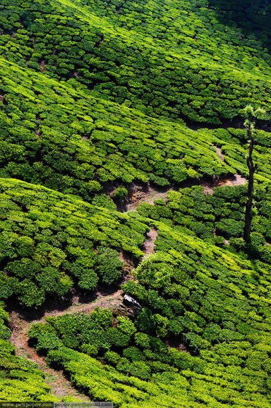 Tea Plantations Kerala, India places India