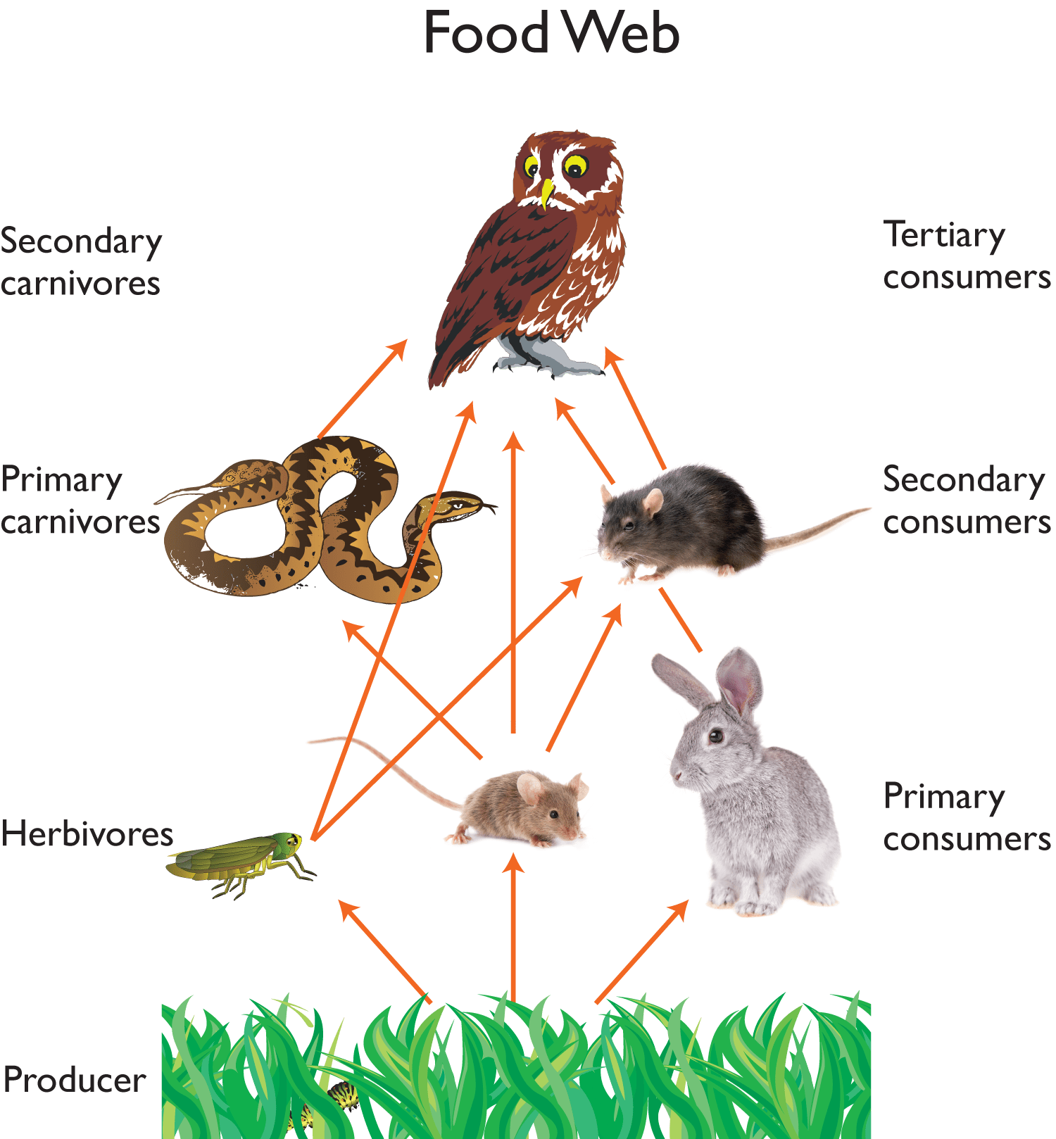 Owl Food Web