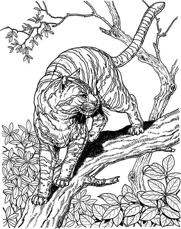 tigers coloring and coloring pages on pinterest