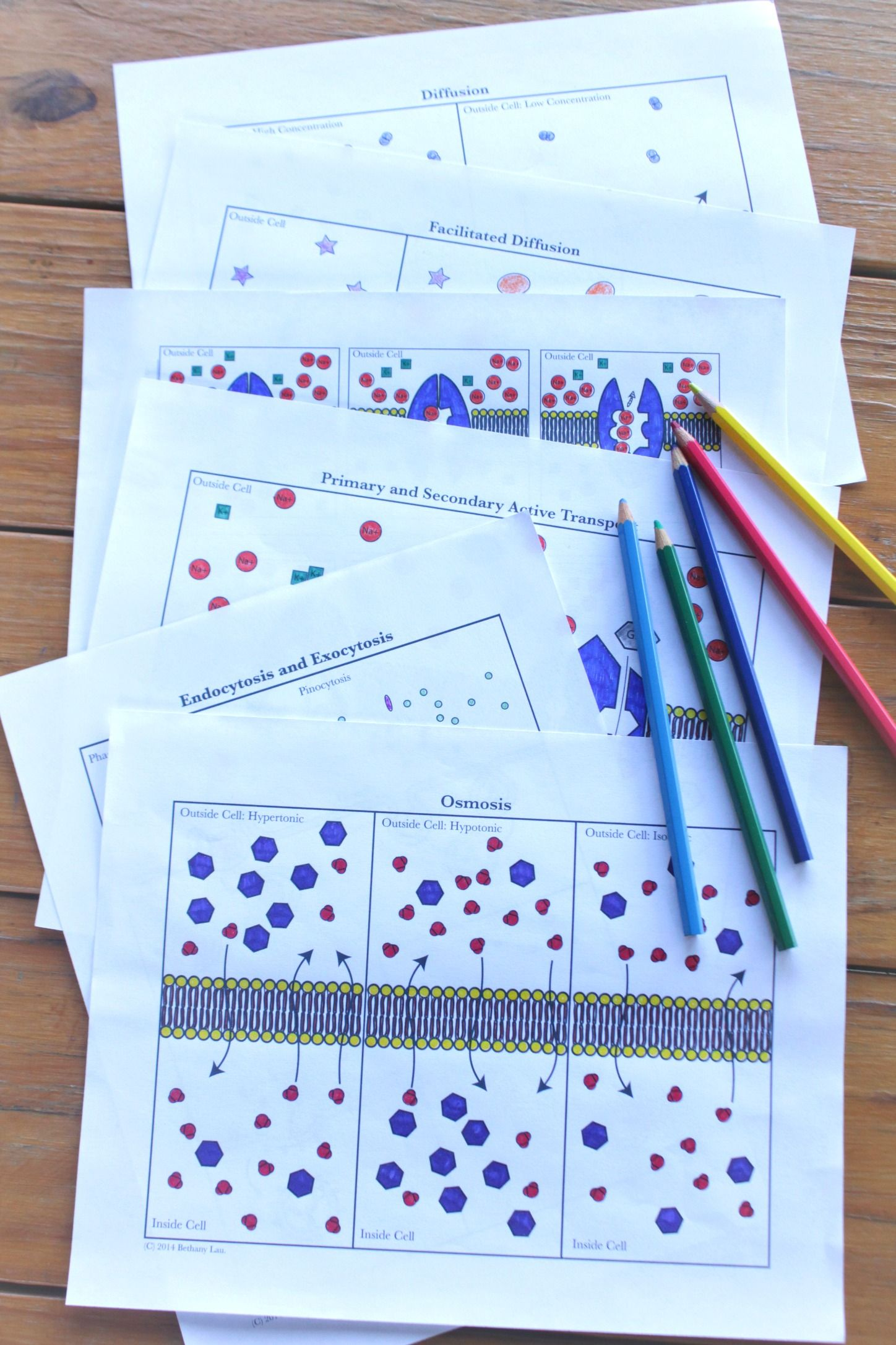 Cell Transport Coloring Activities Osmosis Diffusion For
