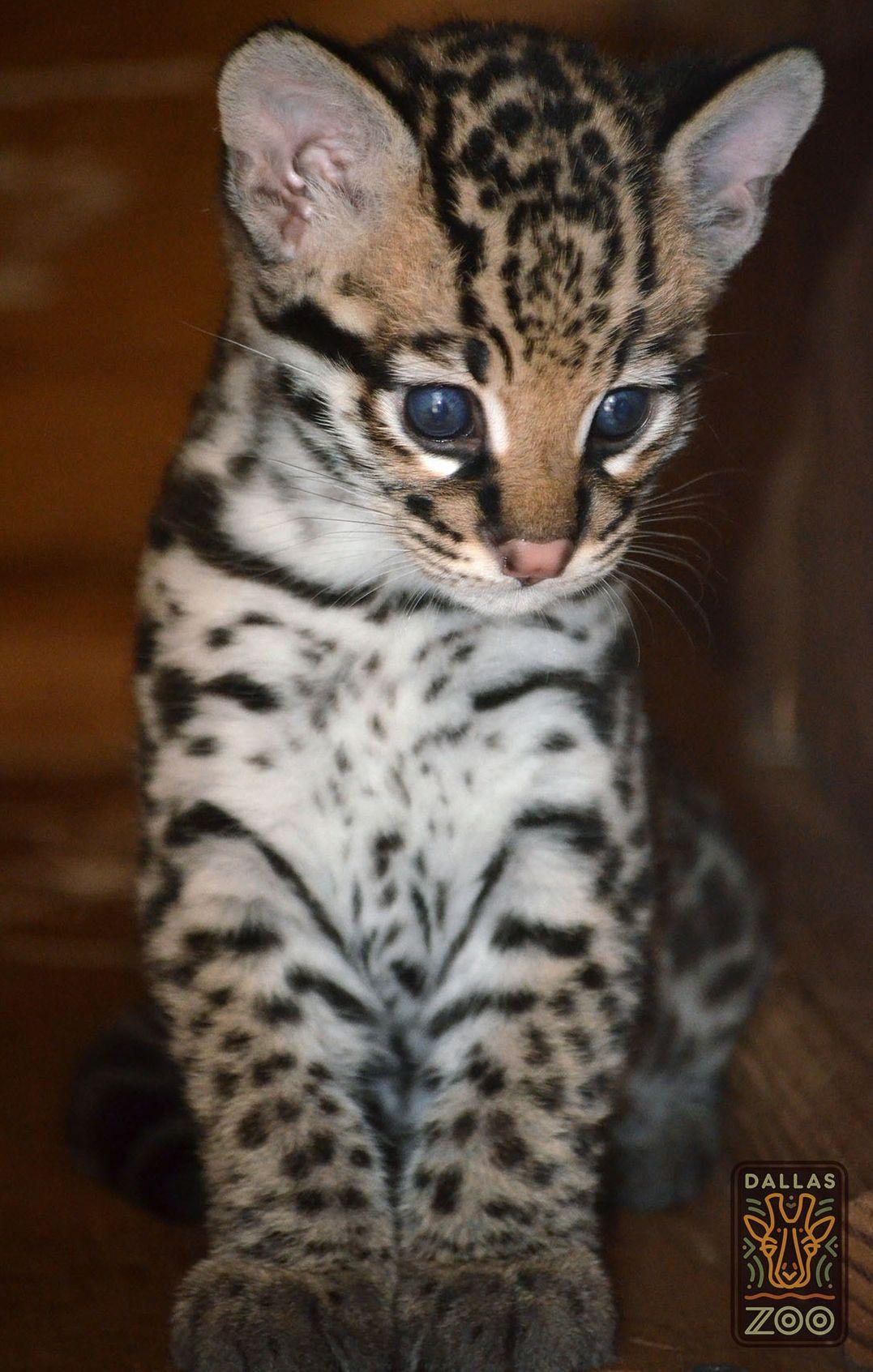 A blueeyed Ocelot kitten born a the Dallas Zoo won't stay