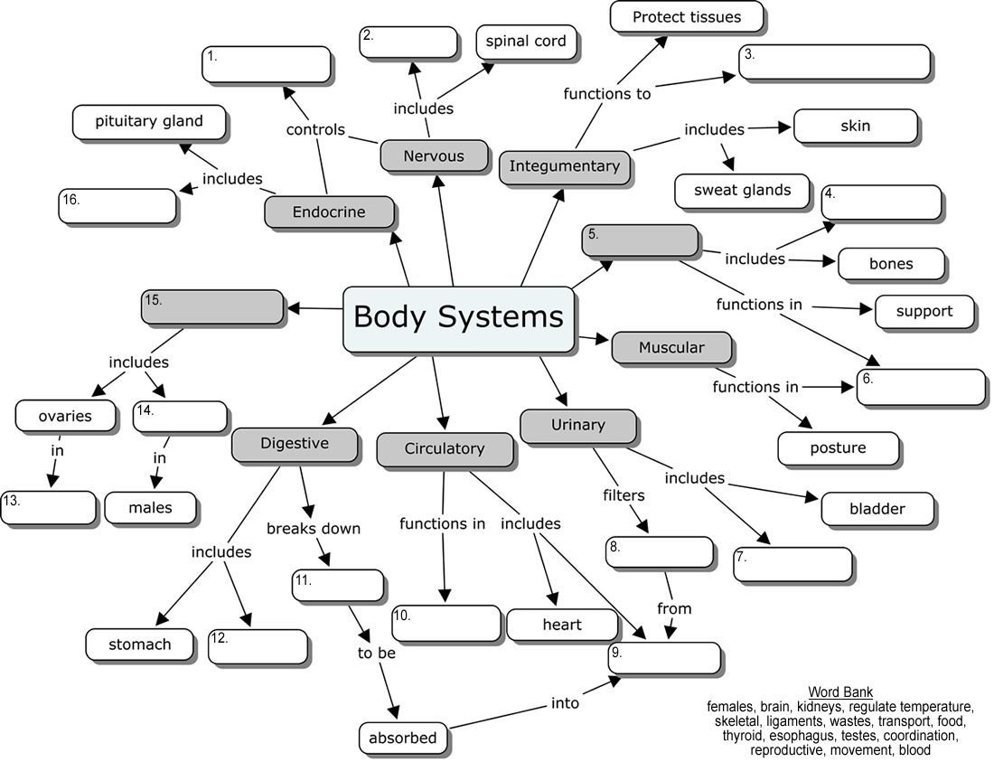 Human Body Organ Systems Worksheet