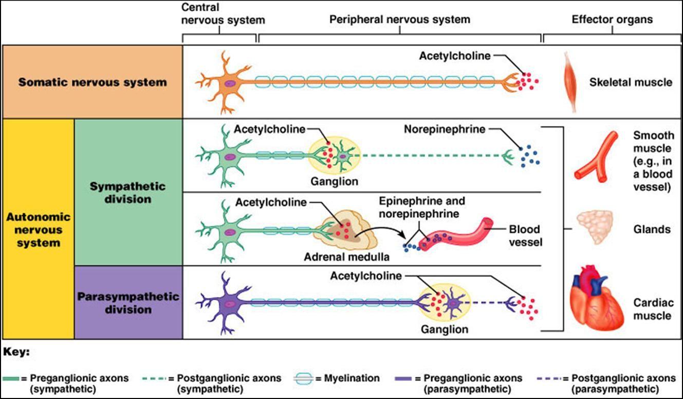 Peripheral Nervous System Somatic And Autonomic Nervous