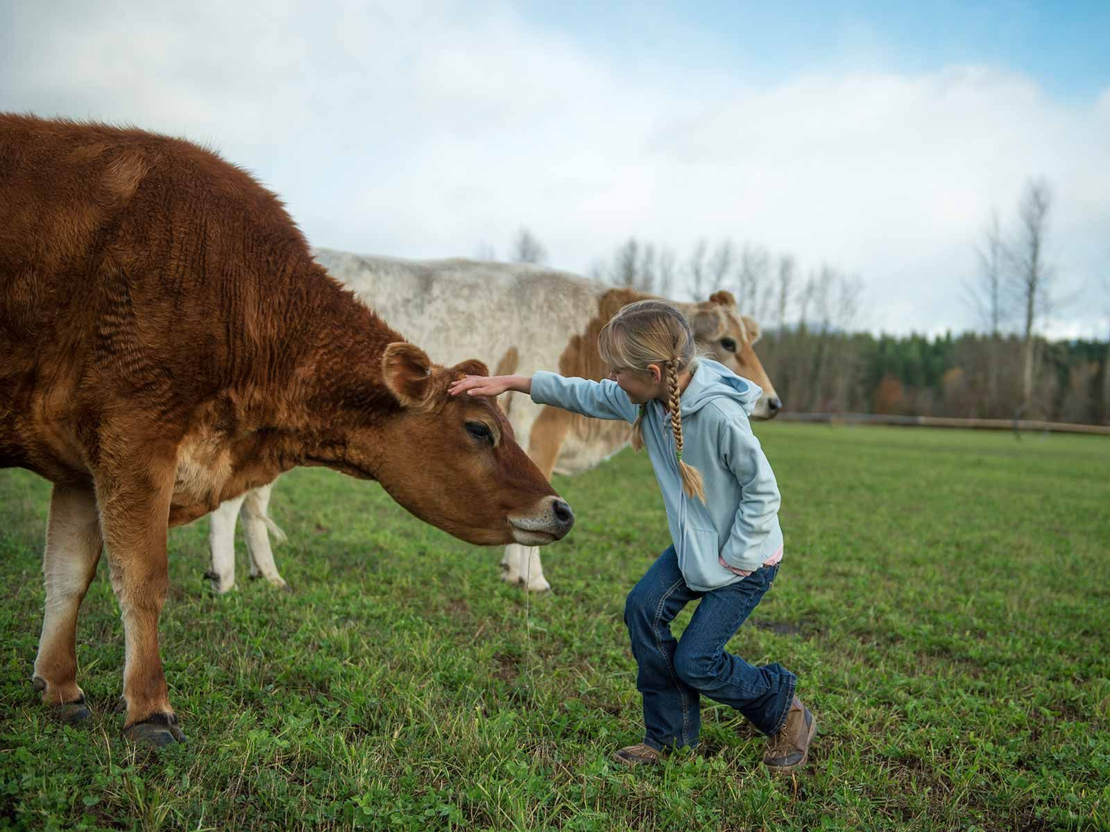Organic Valley cows are treated like members of the family