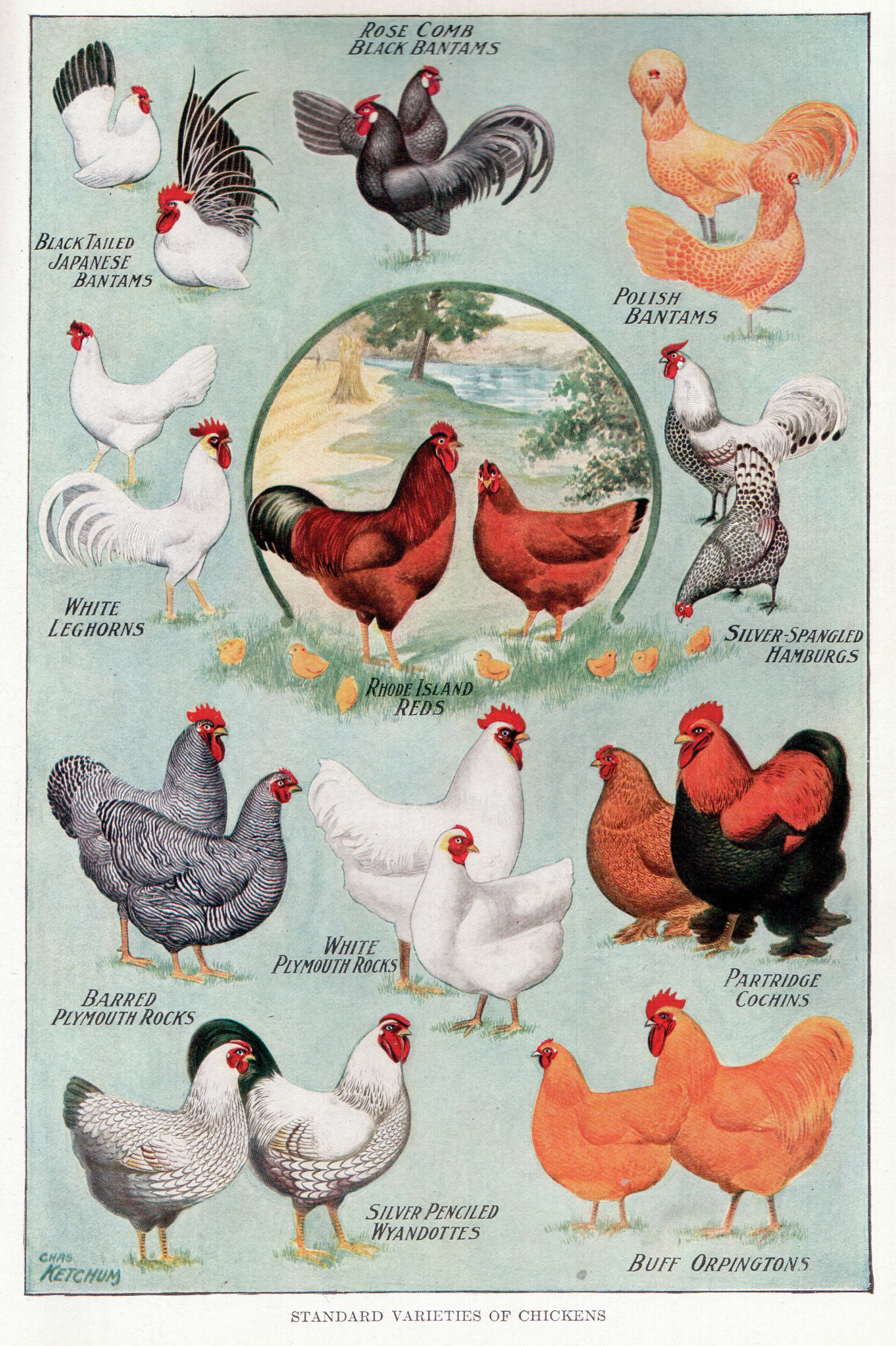 Neat Picture Of Vintage Chickens On Flickr Backyardchickens Eehenhouseplans