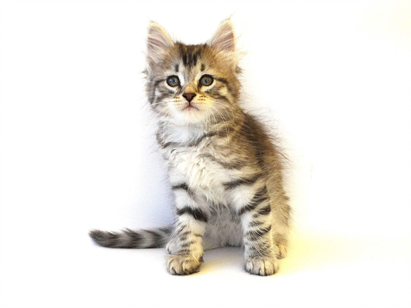 Hypoallergenic Cats Siberian Cat Breeders KITTENS