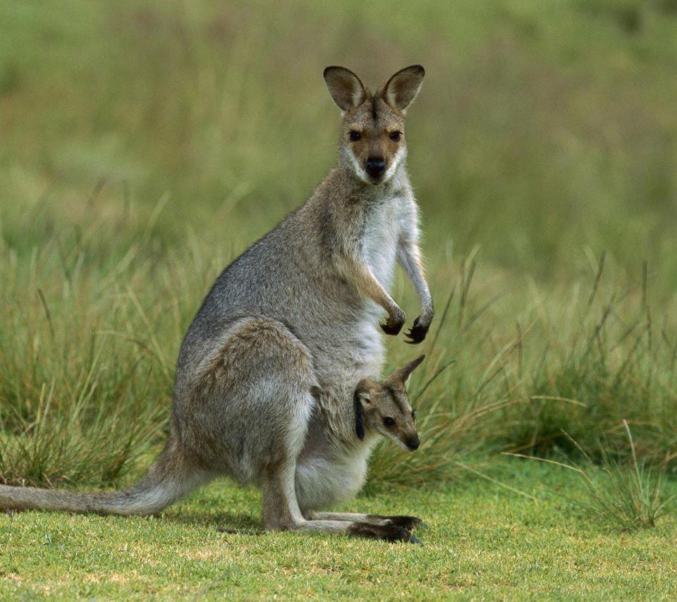 fauna on grassland ,wallaby,animal,animals,australia