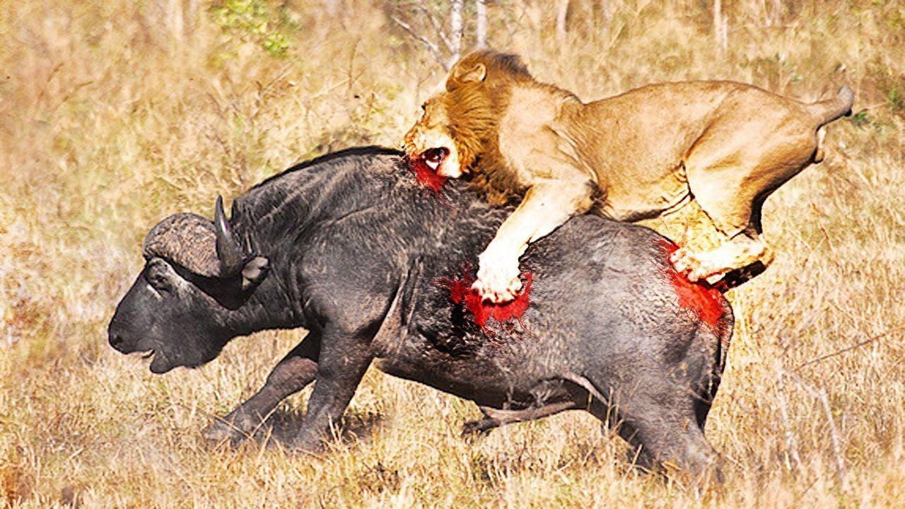Lions Hunting Buffalo real fight animal