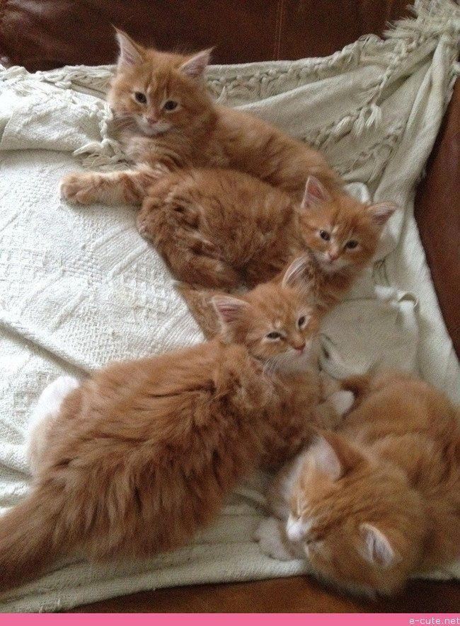 Different Type of Cats Ginger boy, Maine coon kittens