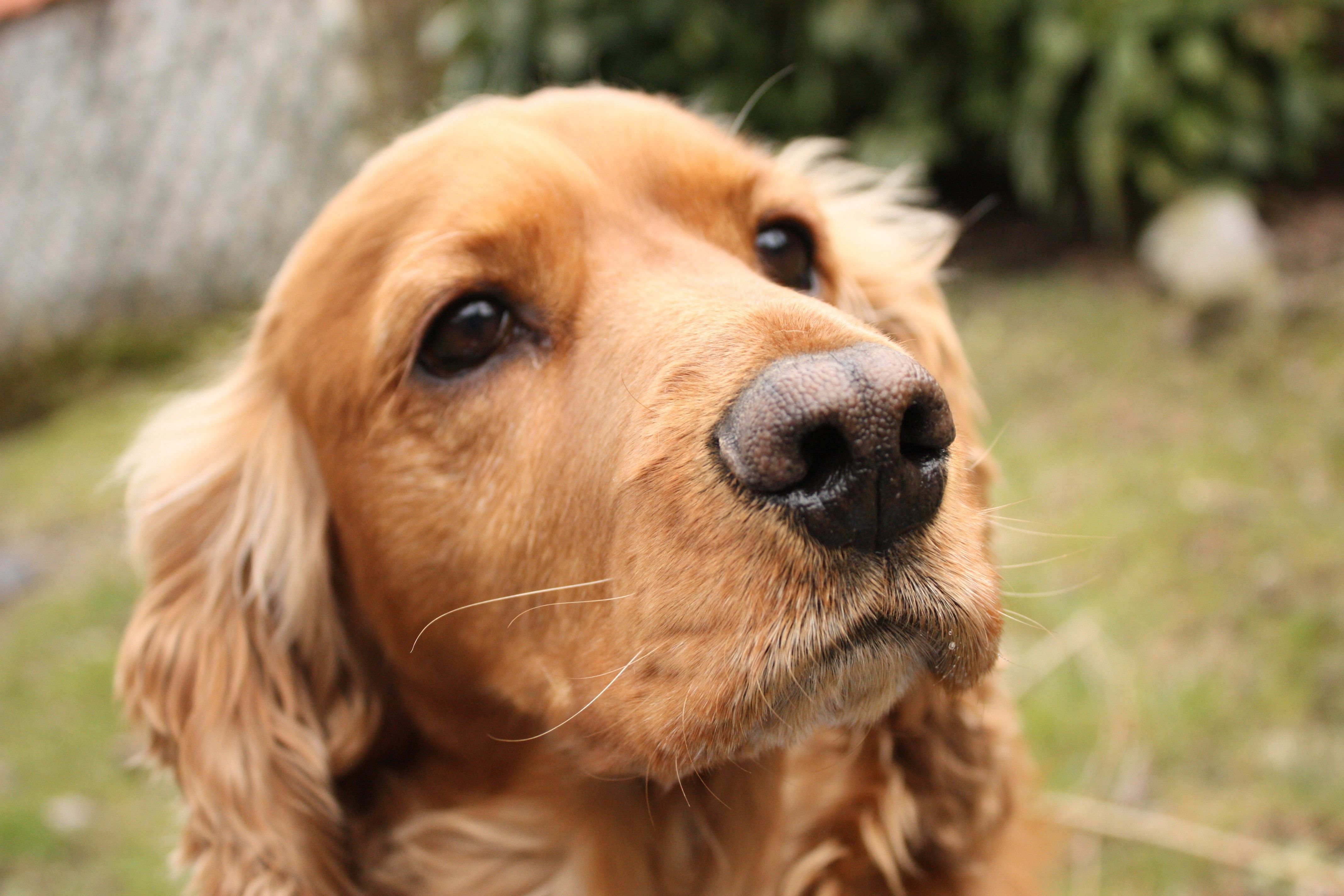 English Cocker Spaniels in UK and USA/Canada have an