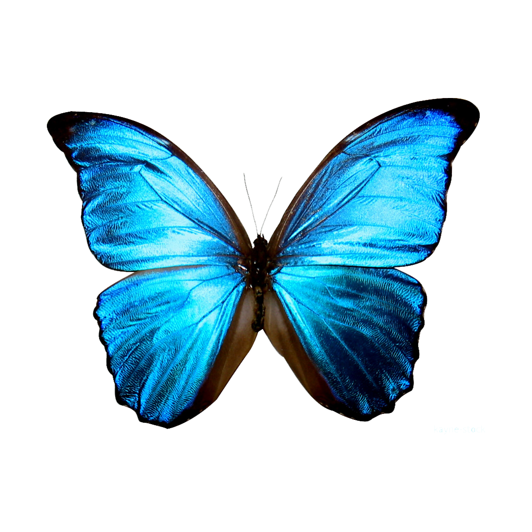 blue butterfly printable Google Search Printables