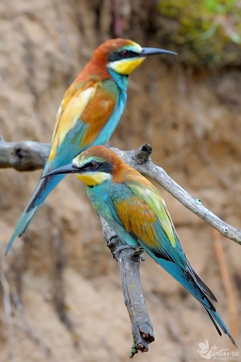 European Beeeater (Merops apiaster). In Lithuania called