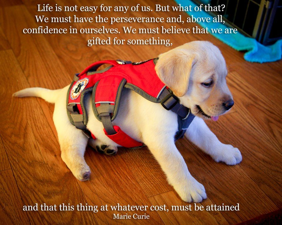 D Service Dog in training ) I have a Service dog In