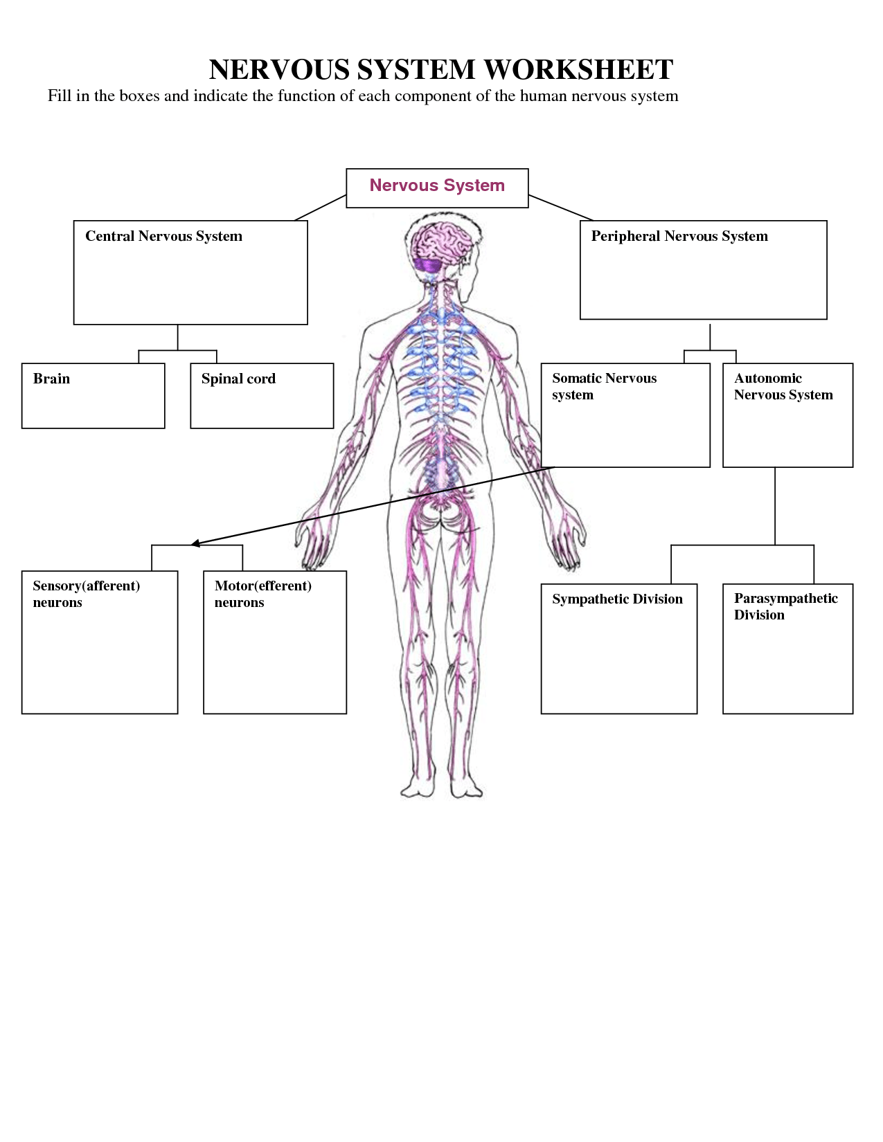 Human Body Systems And Their Functions Worksheet