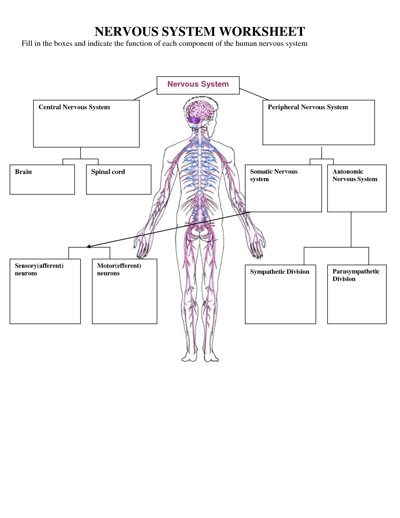 Nervous System Cells Worksheet
