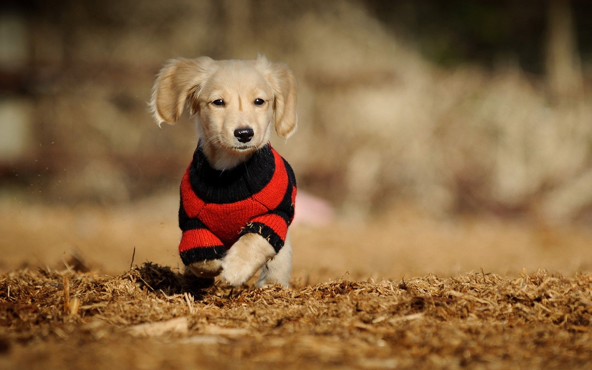 clothed cute dog | animals hd wallpapers | pinterest | dog