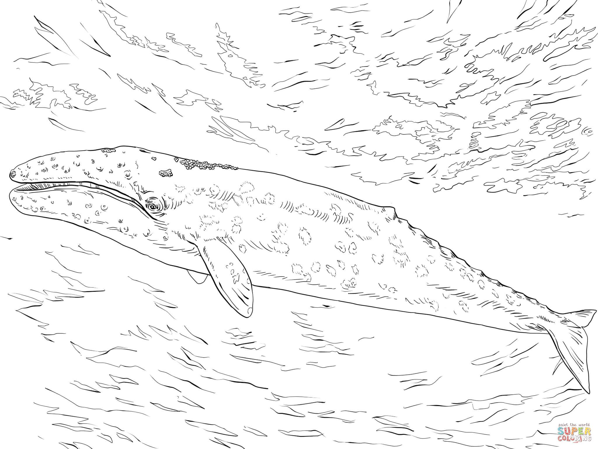 Gray Whale Coloring Pages