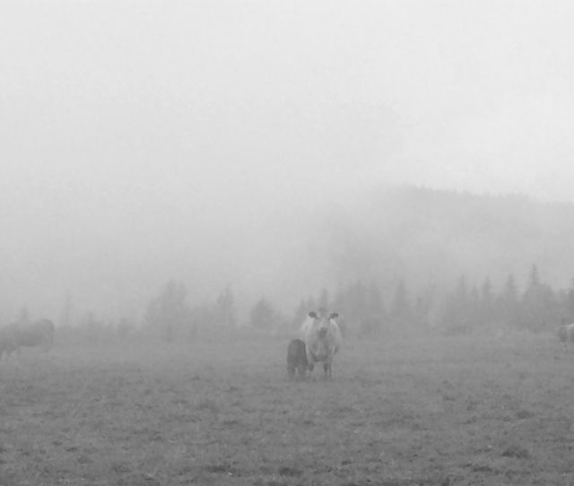 Fog The Cows Standing In The Middle Of Fog Love It