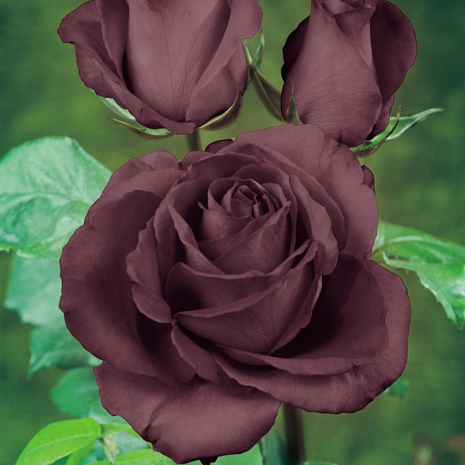 A black rose. Beautiful Flower Roses In A Ray Of Colors