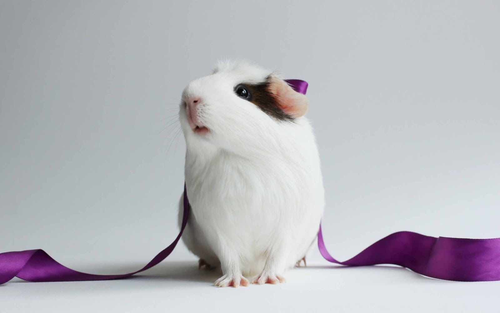guinea pig hd wallpapers backgrounds wallpaper 736×576 pictures of