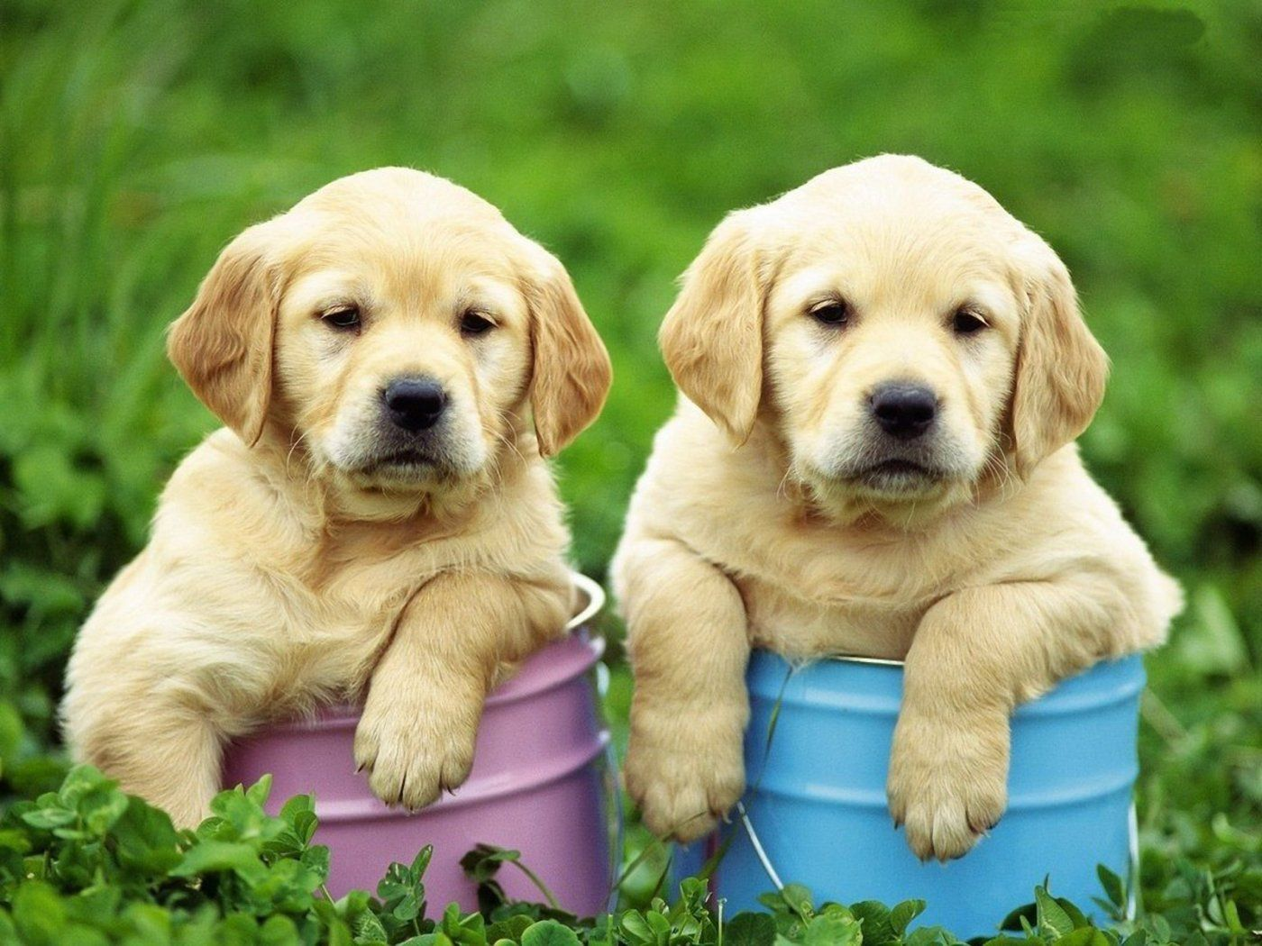 Golden Retriever Puppies. For more cute puppies, check out
