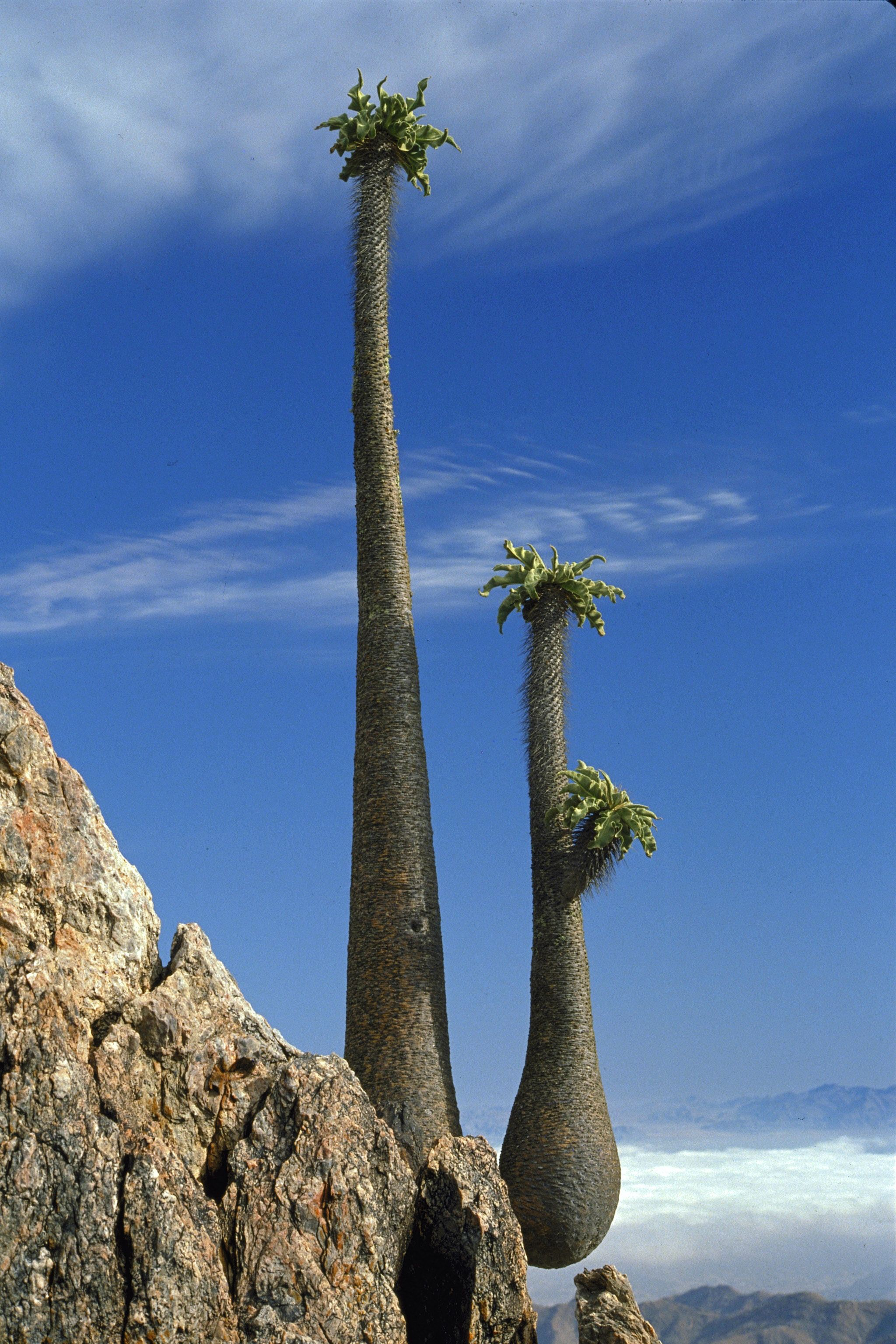 Halfmens trees in the Richtersveld National Park, Northern
