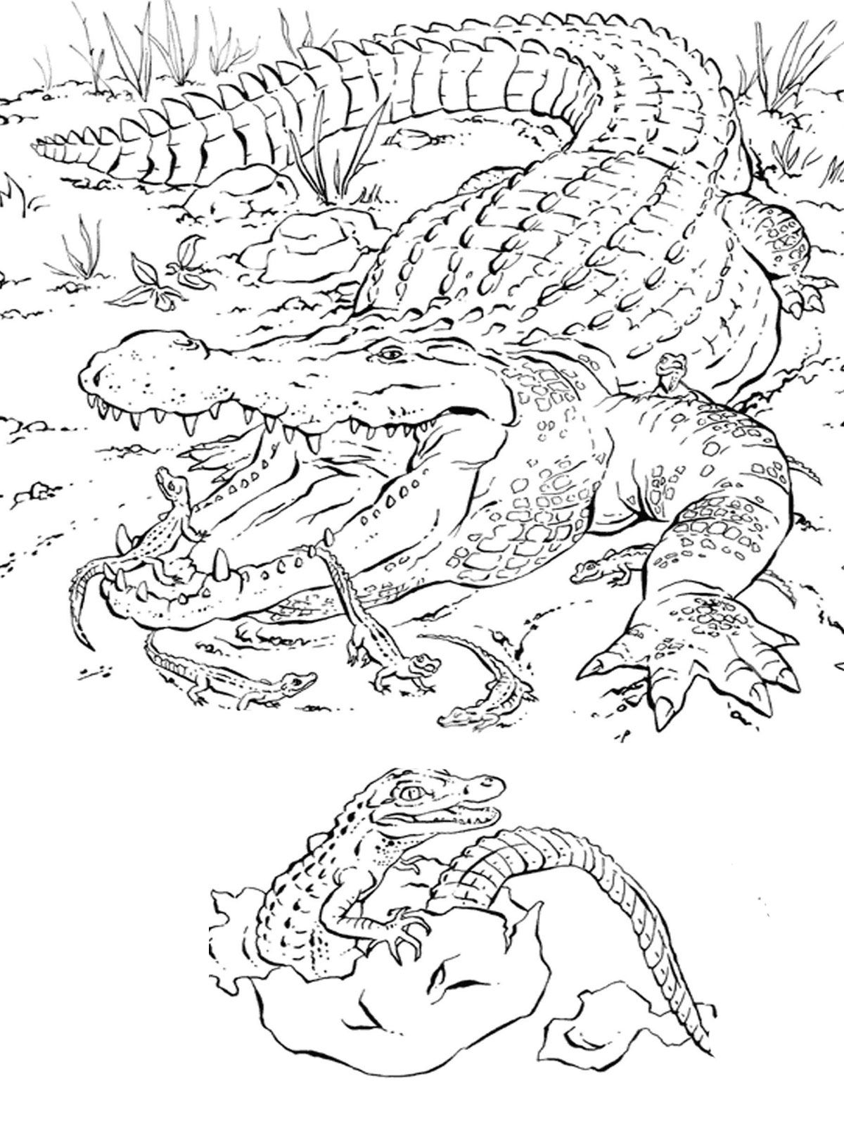 1000 images about florida on pinterest alligators coloring