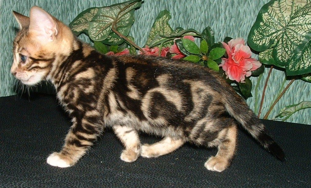 "pictures of sheet marble bengals cats Making Waves"" is a"