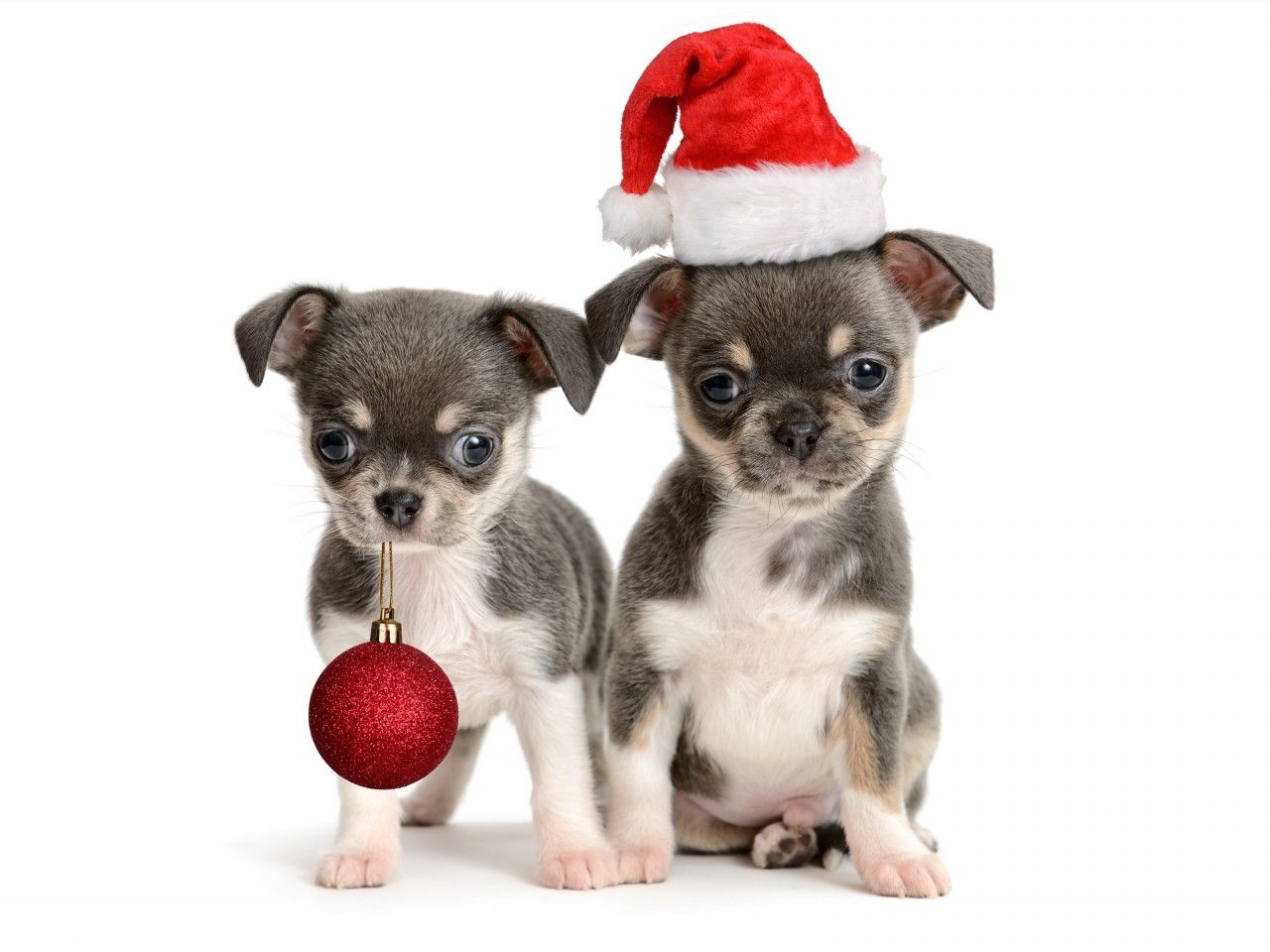 Chihuahua Christmas Day Merry Christmas Card Puppy Holiday