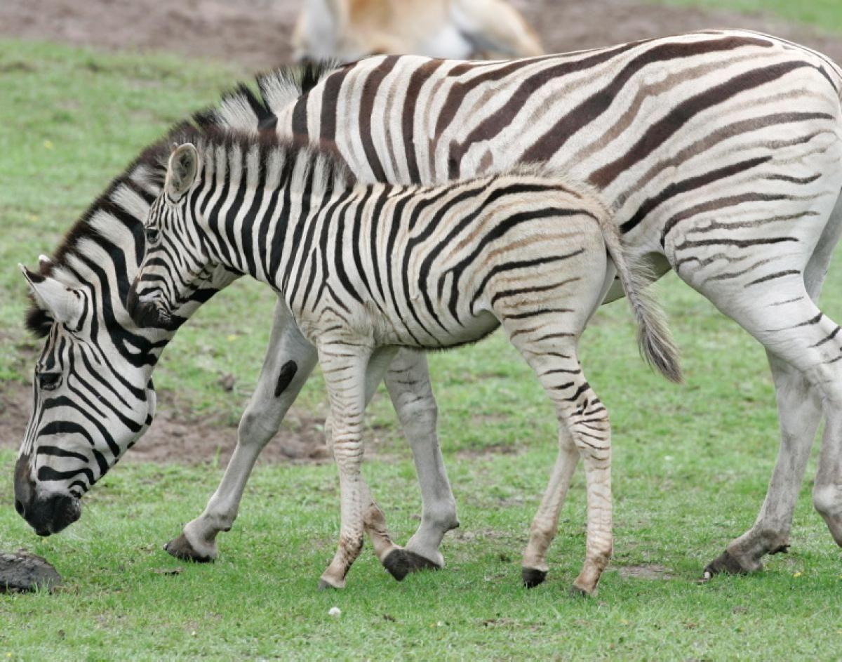 Zebra With Her Baby