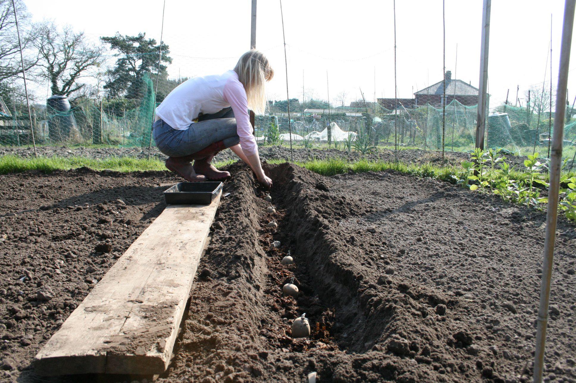 plantation de pommes de terre Jardin Semis, boutures