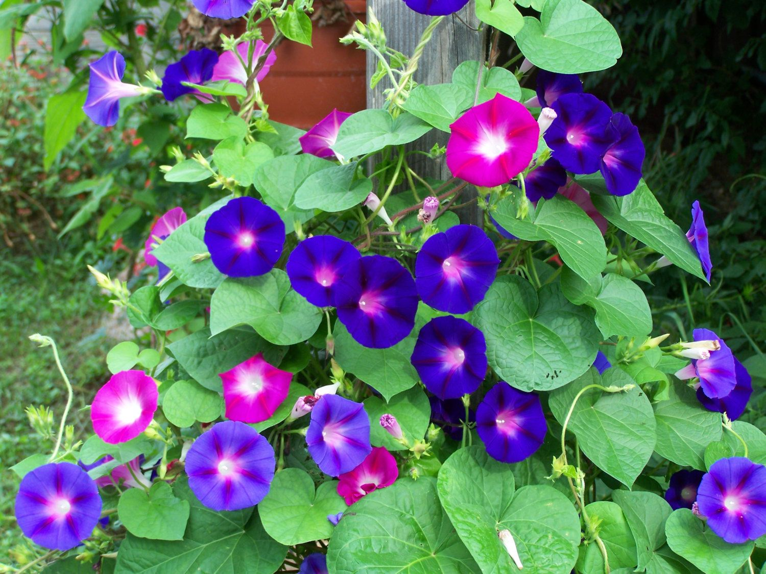 Morning glories are