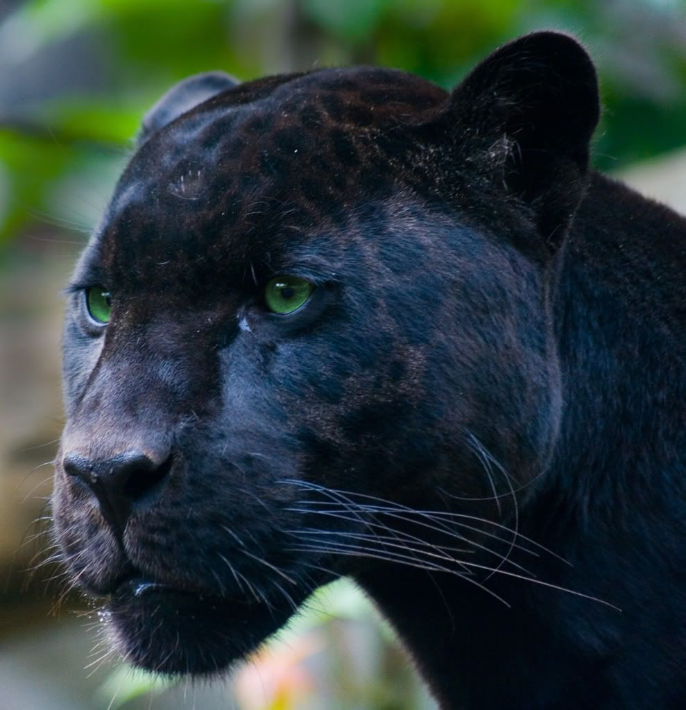 BEAUTIFUL BLACK PANTHER Photo This Photo was uploaded by