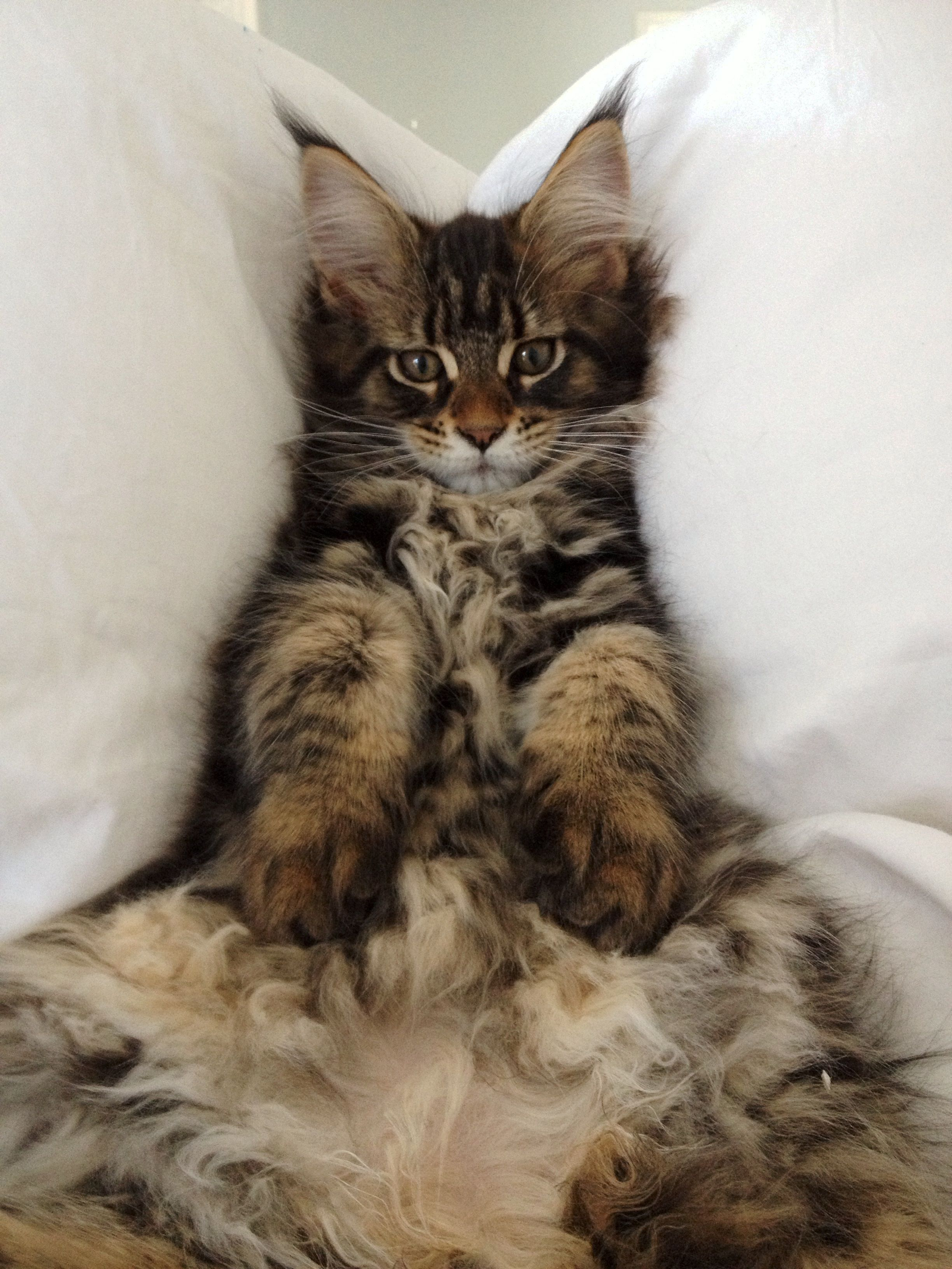 Maine Coon 3 months Cats Pinterest Maine coon, Cat