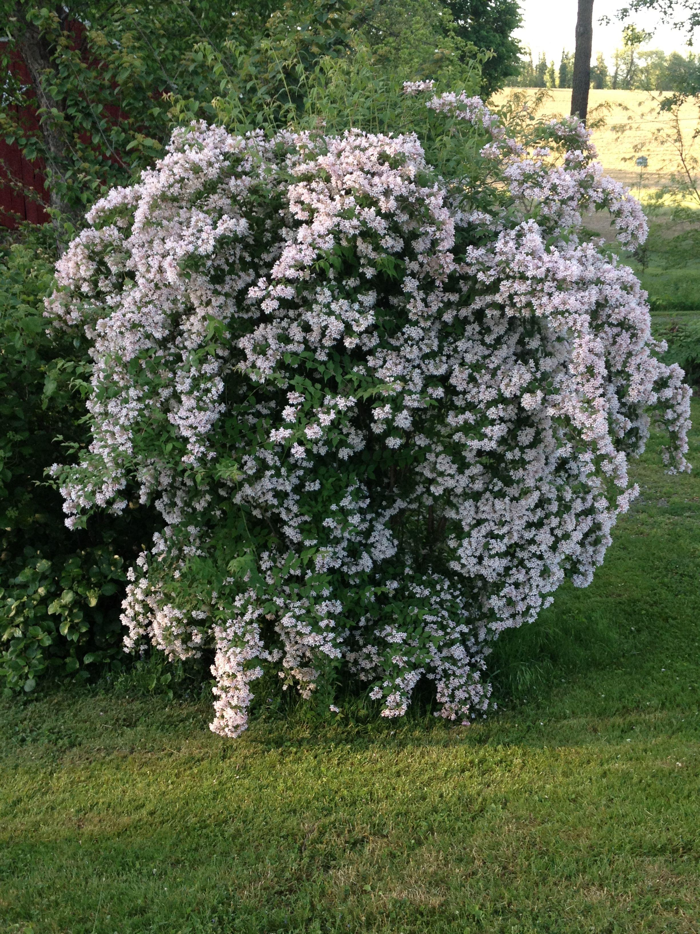 Kolkwitzia amabilis (Beauty Bush) Garden Pinterest